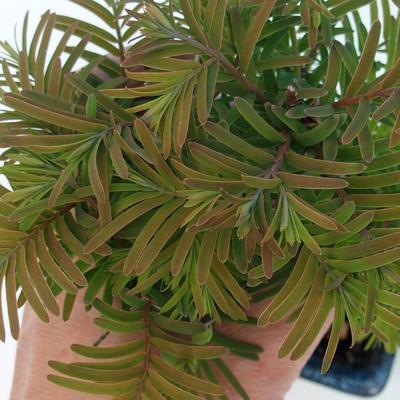 Outdoor bonsai - Dwuliniowy leszcz - 2