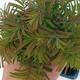 Outdoor bonsai - Dwuliniowy leszcz - 2/4