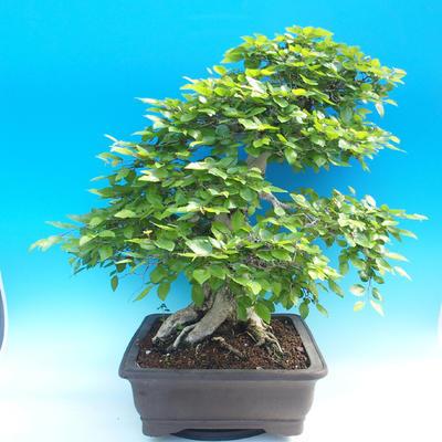 Na zewnątrz bonsai-Karpiny KARPINOWE - Koreański Grab - 2