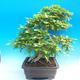 Na zewnątrz bonsai-Karpiny KARPINOWE - Koreański Grab - 2/5