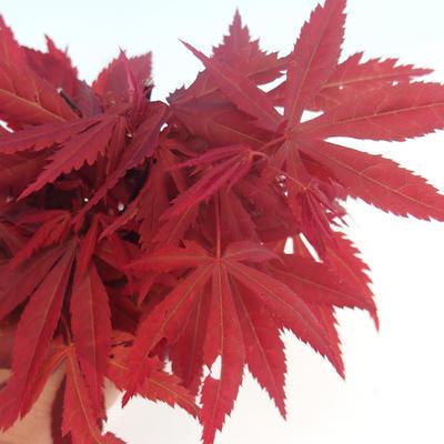 Outdoor bonsai - dłoń Acer. Atropurpureum - japoński klon czerwony - 2