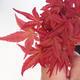 Outdoor bonsai - Klon palmatum DESHOJO - Klon dlanitolistý - 2/3