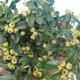 Outdoor bonsai-Cotoneaster horizontalis-Cotoneaster - 2/2