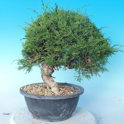 Odkryty bonsai - Juniperus chinensis ITOIGAWA - chiński jałowiec - 2