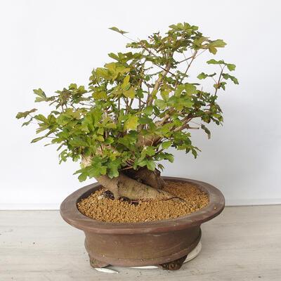 Pinus thunbergii - Sosna thunbergova - 2