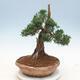 Outdoor bonsai - Juniperus chinensis - chiński jałowiec - 2/6