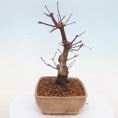Outdoor bonsai - Klon palmatum DESHOJO - Klon japoński - 2