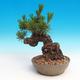 Pinus thunbergii - Sosna thunbergova - 2/3