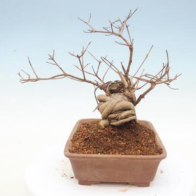 Outdoor bonsai - piękny Callicarpa - 2