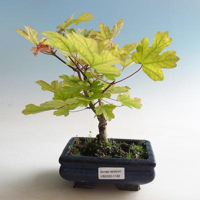 Outdoor bonsai-Acer campestre-Babyka klon - 2