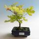 Outdoor bonsai-Acer campestre-Babyka klon - 2/2