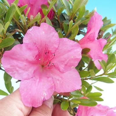 Bonsai zewnętrzne - Rhododendron sp. z o.o. - Różowa azalia - 2