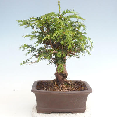 Outdoor bonsai - Taxus bacata - Cis czerwony - 2
