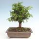 Outdoor bonsai - Taxus bacata - Cis czerwony - 2/3