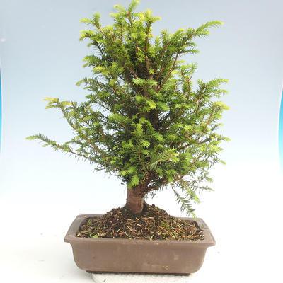 Outdoor bonsai - Taxus bacata - Cis czerwony - 2