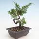 Outdoor bonsai - Juniperus chinensis Itoigawa-chiński jałowiec - 2/3
