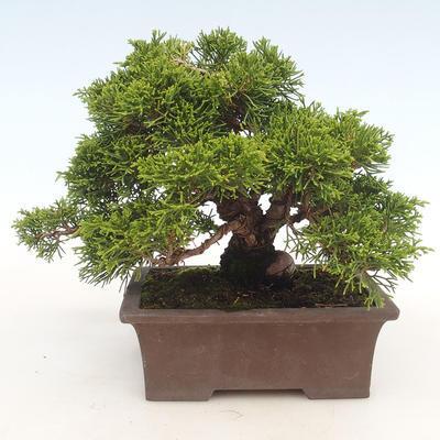 Outdoor bonsai - Juniperus chinensis Itoigawa-chiński jałowiec - 2