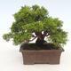 Outdoor bonsai - Juniperus chinensis Itoigawa-chiński jałowiec - 2/6