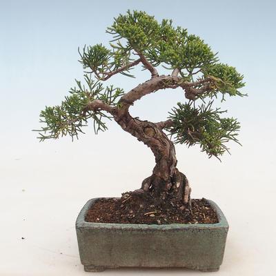 Outdoor bonsai - Juniperus chinensis - chiński jałowiec - 2