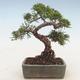 Outdoor bonsai - Juniperus chinensis - chiński jałowiec - 2/5