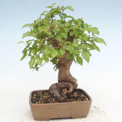 Outdoor bonsai -Carpinus CARPINOIDES - Koreański Grab - 2