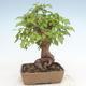 Outdoor bonsai -Carpinus CARPINOIDES - Koreański Grab - 2/5