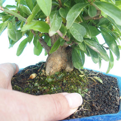 Pokój bonsai-granat PUNICA-granat - 2
