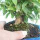 Pokój bonsai-granat PUNICA-granat - 2/5