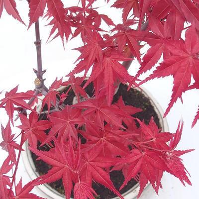 Outdoor bonsai - Maple palmatum DESHOJO - Klon palmowy - 2