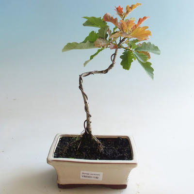 Outdoor bonsai-Quercus robur-Dąb letni - 2