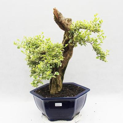 Bonsai do wnętrz - Duranta erecta Variegata - 2