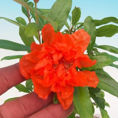 Pokój bonsai-PUNICA granatum nana-granat - 2