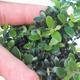 Kryte bonsai - Olea europaea sylvestris -Oliva european tiny - 2/5