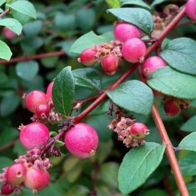 Outdoor bonsai Pámelník - symphoricarpos chenaultii hancock VB2020-723 - 2
