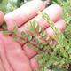 Bonsai zewnętrzne - Ulmus parvifolia SAIGEN - Wiąz drobnolistny - 2/5