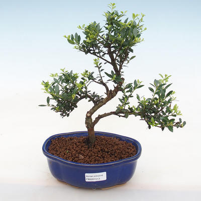 Kryty bonsai - Ilex crenata - Holly - 2