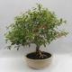 Room Bonsai - Australian Cherry - Eugenia uniflora - 2/5