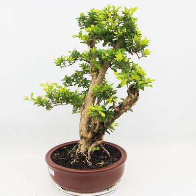 Bonsai do wnętrz - Duranta erecta Aurea - 2