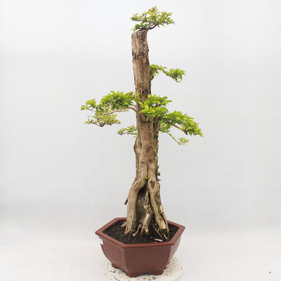 Bonsai do wnętrz - Duranta erecta Aurea - 2