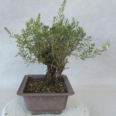 Outdoor bonsai - góra Satureja - Satureja montana - 2