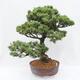 Outdoor bonsai - Buergerianum Maple - Burger Maple - 2/5