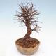 Outdoor bonsai - Zelkova - Zelkova NIRE - 2/5
