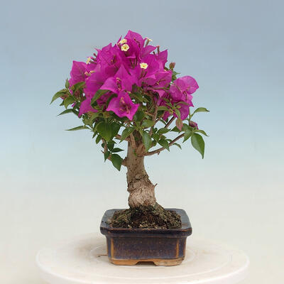 Outdoor bonsai - Pseudocydonia sinensis - Pigwa chińska - 2