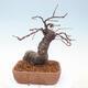 Outdoor bonsai - Pseudocydonia sinensis - Pigwa chińska - 2/7