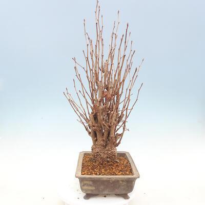Outdoor bonsai - Ginkgo biloba - 2