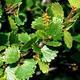 Outdoor bonsai - brzoza karłowata - Betula NANA VB2020-534 - 2/2