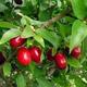 Outdoor bonsai - Dereń - Cornus mas VB2020-520 - 2/2