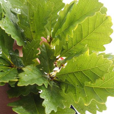 Outdoor bonsai-Quercus robur-Dąb letni - 2