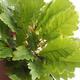 Outdoor bonsai-Quercus robur-Dąb letni - 2/2