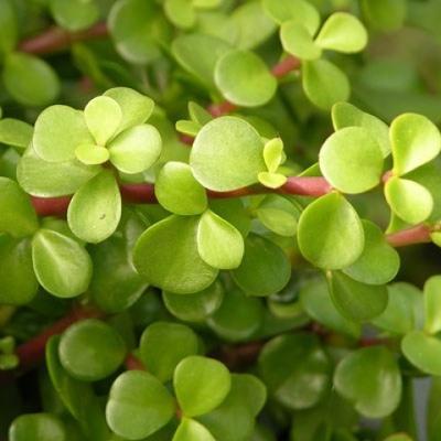 Kryty bonsai - Portulakaria Afra - Tlustice - 2